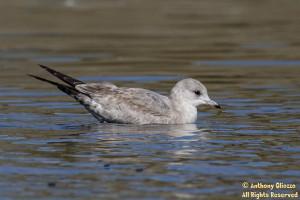 A 1st Cycle Mew Gull