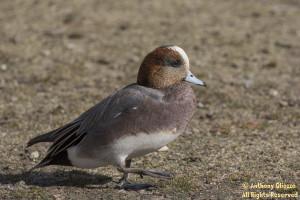 Eurasian x American Wigeon (21456)