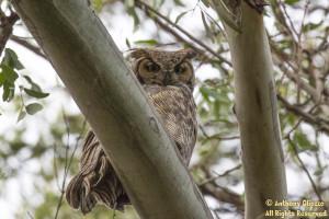 Great Horned Owl (21495)