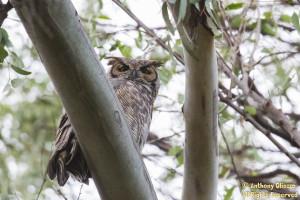 Great Horned Owl (21514)