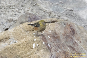 Bay-breasted Warbler (21859)