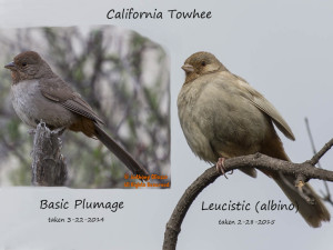 California Towhee comparison.  Basic vs. Leucistic plumage