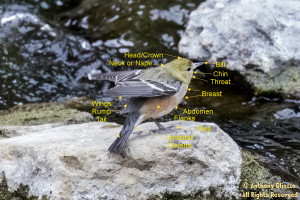Warbler Body Parts Markup