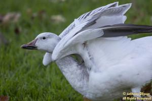Snow Goose (juvenile) (21945)
