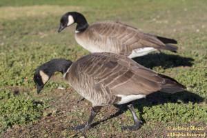 Cackling Goose (22090)