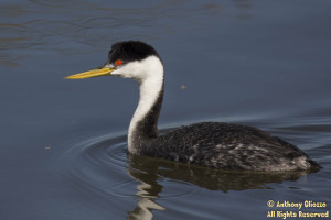 Western Grebe (22120).  Note in comparing with a Clark's Grebe, the line of demarcation is below eye and the bill color for Western Grebe is correct.