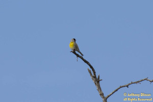 Lawrence's Goldfinch (22294) (male)