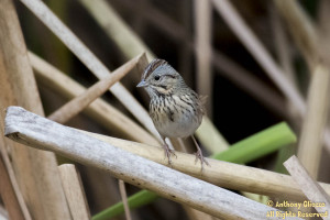 Lincoln's Sparrow (019751)