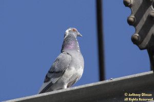A leucistic Rock Pigeon (feral) sits just on an EMF tower above the Arroyo Trabuco Trail