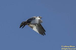Rock Pigeon (feral) Leucistic - (22329)