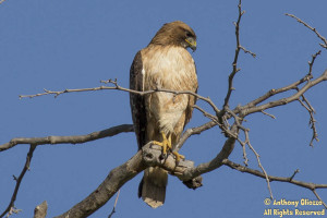 An adult Red-tailed Hawk (Western) perched on the Arroyo Trabuco Trail March 2015