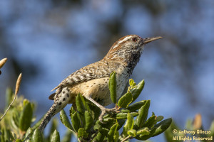 A Cactus Wren is perched high on coastal live oak leaves.