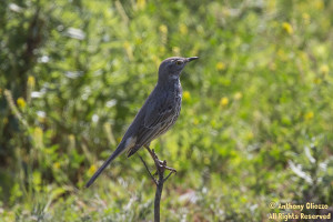 Sage Thrasher (perched)