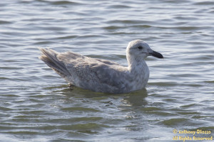 Glaucous-winged Gull (Second Cycle)