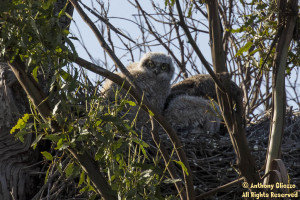 Great-horned Owl (owlet)