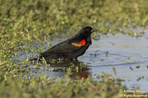 Red-winged Blackbird (male) bathing