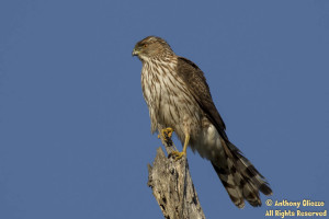 Cooper's Hawk perched at Bolsa Chica Eco Reserve