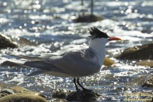 An adult Royal Tern at San Mateo Creek / South San Clemente