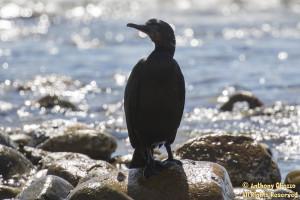 Brandt's Cormorant at San Mateo Creek / South San Clemente