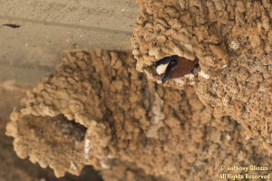 Cliff Swallow in nest