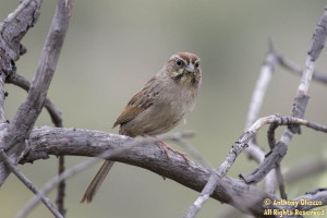 Rufous-crowned Sparrow on March 18, 2015