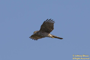 Sharp-shinned Hawk (22695)