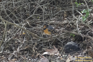Varied Thrush taken on March 22, 2015