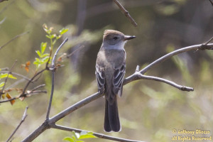 Ash-throated Flycatcher just before entering onto Haul Hicks Road from Loma Ridge Trail.