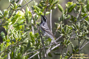 Black-throated Gray Warbler on Haul Hicks Road in Limestone Canyon
