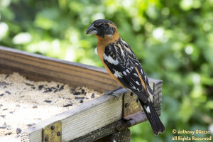 Located 3 Black-headed Grosbeak males at Tucker Wildlife Sanctuary on April 4, 2015.  All were seen at the bird porch.