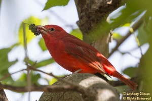 Male Summer Tanager taken at Serrano Creek Trail on April 5, 2015.  Bird located by a pedestrian who pointed out the finding to Mike Sanders and I.  In order to locate this species you had to squat below a large branch of the Mulberry tree and view up.