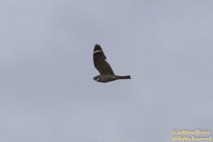 Lesser Nighthawk (24027)
