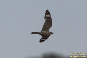 Lesser Nighthawk (24038)
