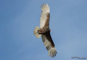 Turkey Vulture taken at Laguna Niguel Regional Park on March 6, 2013
